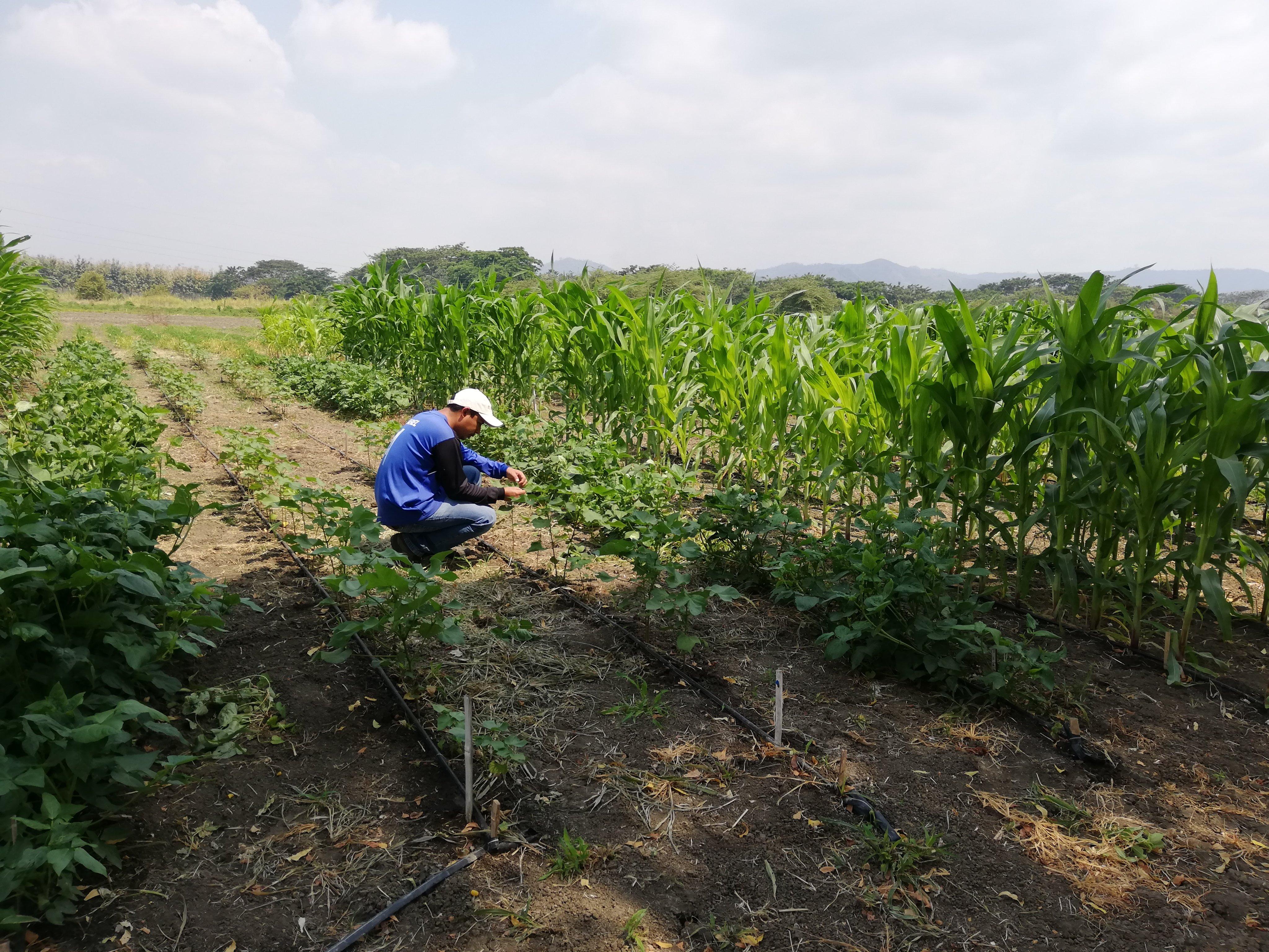 Pesquisas com a semente de algodão da EMBRAPA, a BRS-336, têm apoio do projeto + Algodão Equador