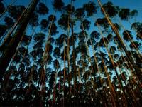 florestas plantadas.jpg