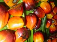 oleo de palma.JPG