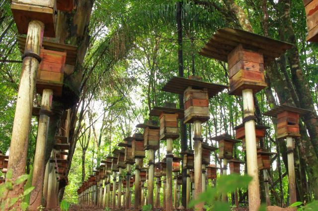1 Criação de abelhas em Curuçá-PA - Foto Ronald Rosa Embrapa.jpg