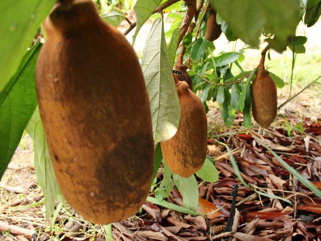 3 Cultivar de cupuaçu em Tomé-Açu-PA - Embrapa - Foto Ronaldo Rosa.jpg