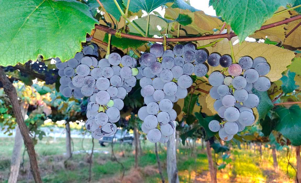 Safra da uva anima assentados da Campanha Gaúcha
