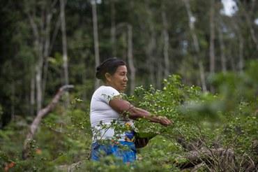 Nazária Mandú Lopes colhe pimentas em sua roça, próxima à comunidade Canadá, no rio Ayari, Terra Indígena Alto Rio Negro (AM) -- Créditos: Carol Quintanilha/ISA