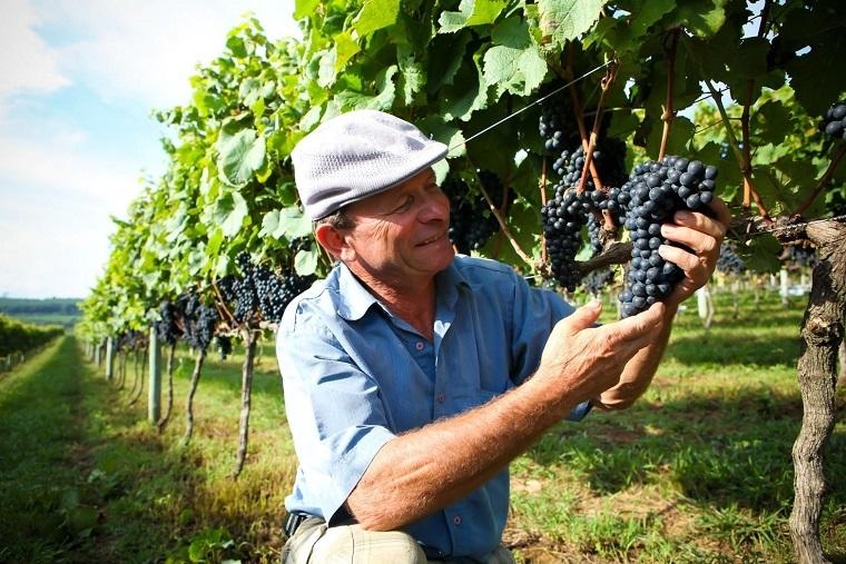 Produção de uva gera emprego e renda a milhares de famílías no país. Crédito: Ibravin