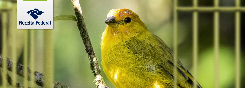Ação da RFB impede o comércio ilegal de espécimes de canários-da-terra